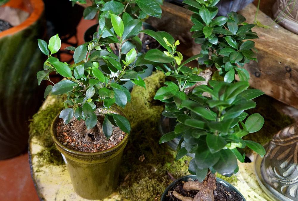 Ficus Ginseg