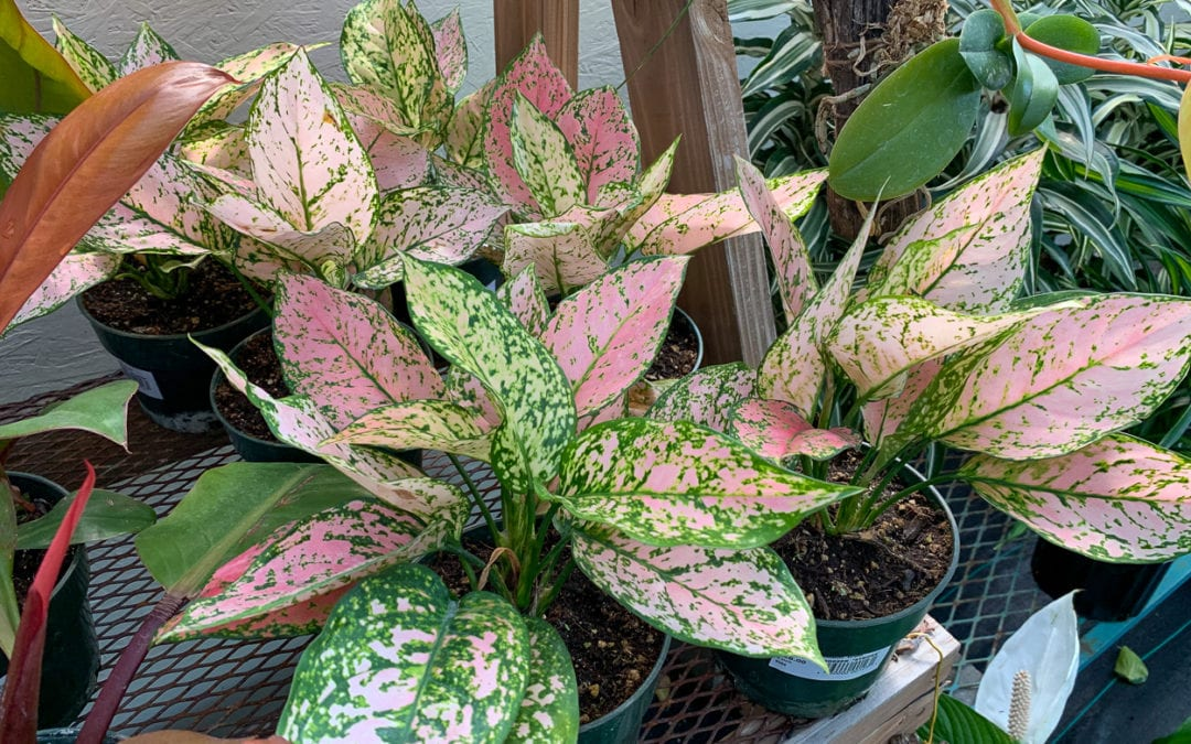 "Chinese Evergreen ""Stripes"""